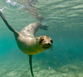 Underwater picture of a sea lion