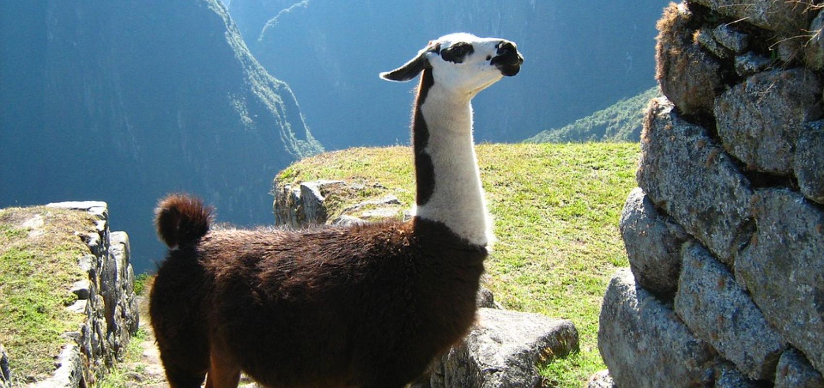 Llama in Cuzco