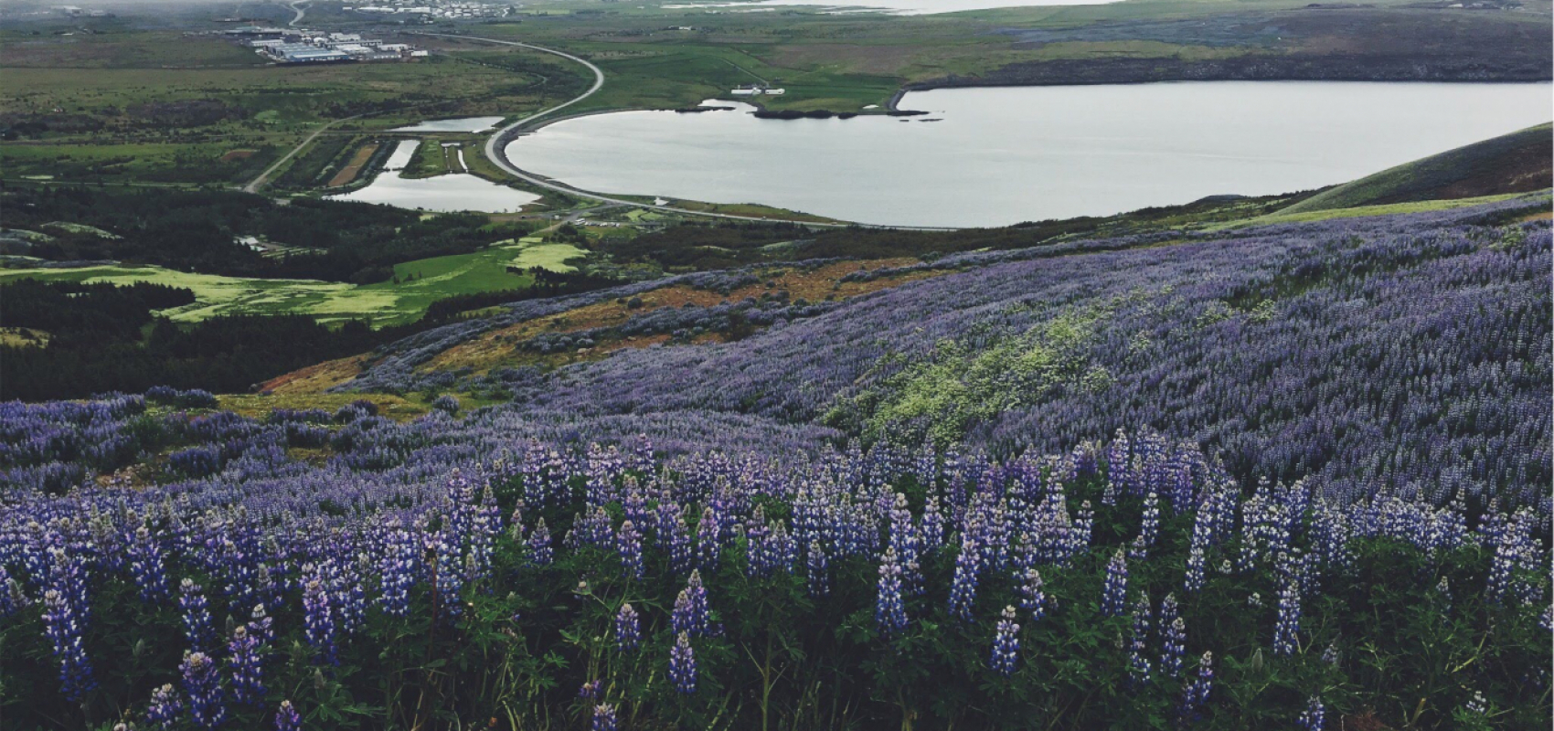 View of Iceland's purple flowers